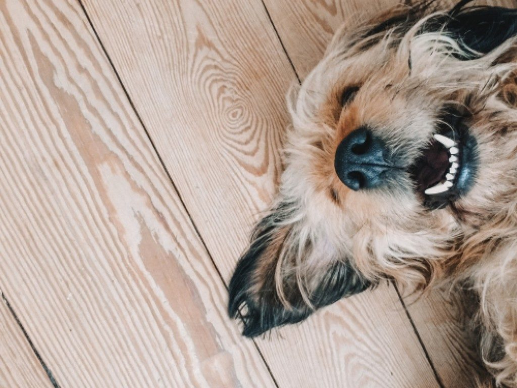 Cute dog smiling while lying down