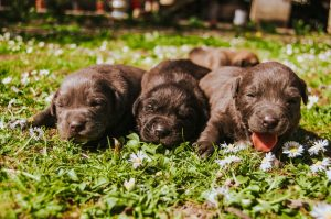 brown puppies